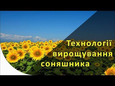 Сколько подсолнечника выращивается в Украине и по какой технологии?
