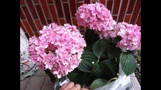 花びら沢山♪ピンクのアジサイ!買ってきて、植え替えました