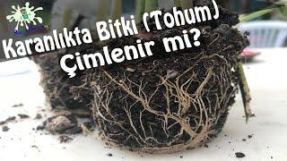 Karanlıkta Bitki (Tohum) Çimlenir mi?
