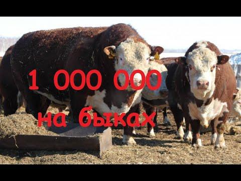 Как на быках заработать МИЛЛИОН