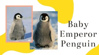 Baby Emperor Penguin || 10 baby emperor penguin facts || What do baby emperor penguins look like?
