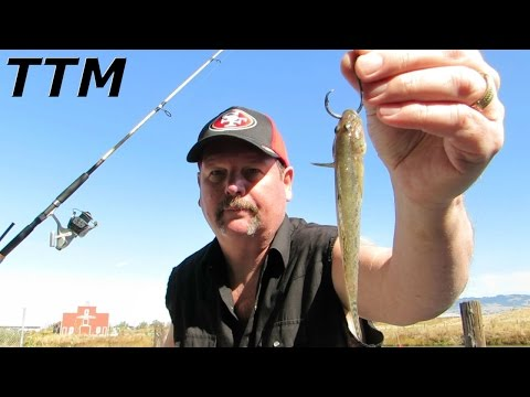 Best Way to Hook Mudsuckers for Live Bait Fishing~Striped Bass Fishing