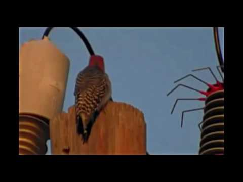 Woodpecker and high voltage