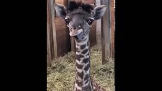 Baby Giraffe at Kansas City Zoo