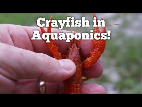 Lobsters, Crabs, Crayfish, Prawns, Shrimp on Grow Aquaponically
