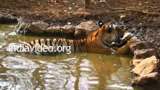 Tiger at Ranthambore National Park, Rajasthan