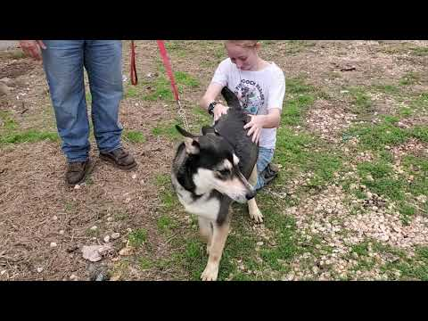 Myles, an adopted Husky in Bandera, TX
