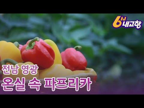 20.11.26 KBS 6시내고향(온실 속 파프리카, 전남 영광)