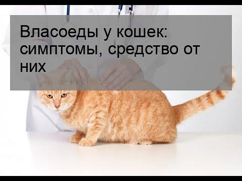 Власоеды у кошек: симптомы, средство от них