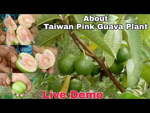 About Taiwan Pink Guava Plant 's Reality  Before Buy This