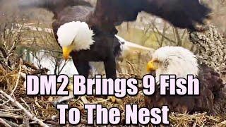 Decorah Eagles- Amazing! DM2 Brings 9 Fish To The Nest