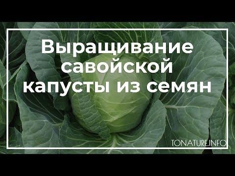 Выращивание савойской капусты из семян | toNature.Info