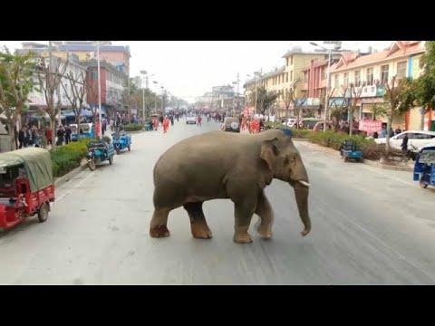 العرب اليوم - شاهد: فيل تائه يتجول في شوارع مدينة صينية