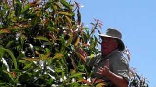 Training Avocado Trees part 2 Keeping trees smaller