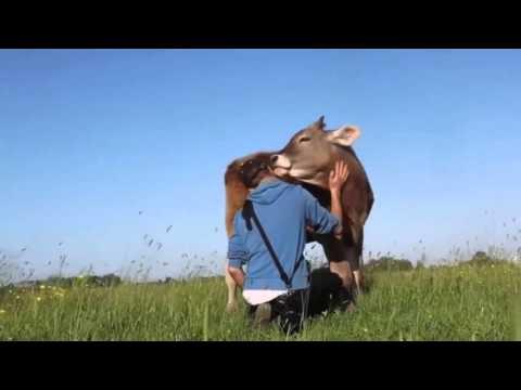 a tehenek miért fogynak az ellés után