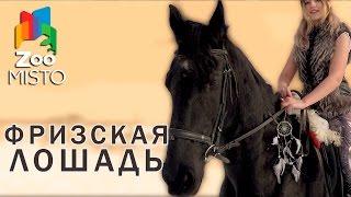 Фризская Лошадь - Все о породе