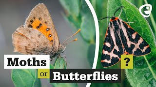 What's the difference between Moths and Butterflies?