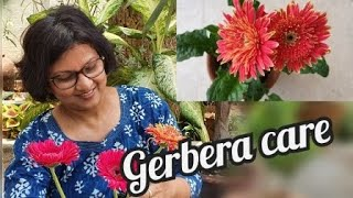How To Take Care Of Gerbera Daisy In Summer, A Complete Guide To Grow It Successfully