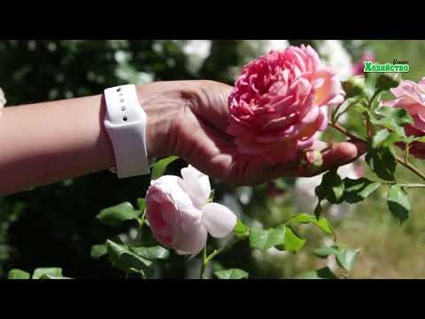 Секреты выращивание Английских роз - Дэвида Остина
