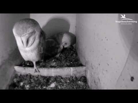 Schleiereule 06.04.17 (Das erste Ei)