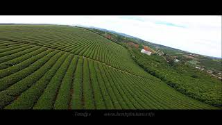 Cinematic fpv - flying over the tea garden