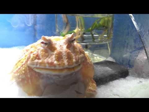 角蛙火箭式生吞蟑螂
