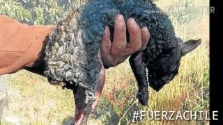 Video especial «por la catástrofe forestal en Chile»