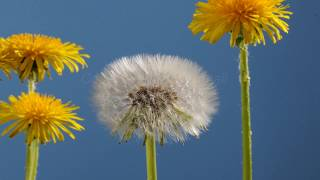 Dandelion Flower To Clock Blowing Away Time Lapse
