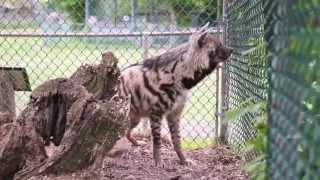 Amazing Animals: Meet Eddie the striped hyena