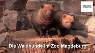 Die Waldhunde im Zoo Magdeburg
