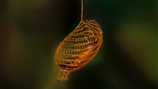Nature's 3D Printer: MIND BLOWING Cocoon in Rainforest