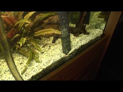 Aquarium Reinigen Mit Einer Saugglocke