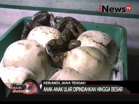 Video Bisnis ternak ular yang menguntungkan - iNews Malam 15/02