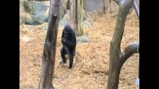 preview picture of video 'Baby Gorilla Walking Upright at Chessington World of Adventures - 2010 Gorilla'