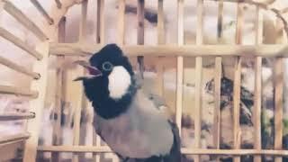 تحميل اغاني مقطع تحفيز طيور البلابل على التغريد ???? MP3