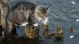 Кошки рыболовят
