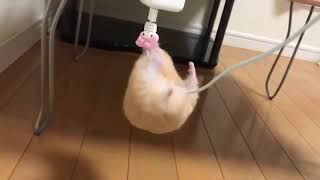 Hamster Struggles To Climb Cell Phone Charger Cord   1068572