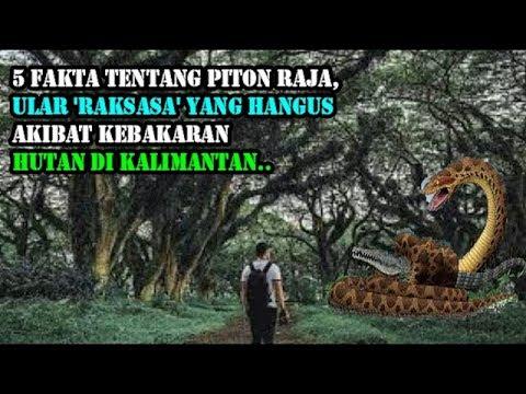 Inilah 5 Fakta tentang Piton Raja,yang ada di hutaan Kalimantan