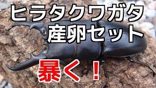 クワガタカブトムシ生活産卵セット割り出し本土ヒラタクワガタ佐賀産