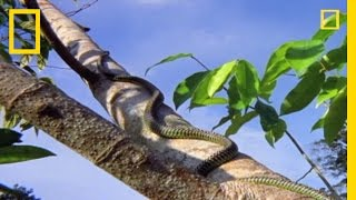 Flying Snake Hunts Leaping Lizard | National Geographic thumbnail