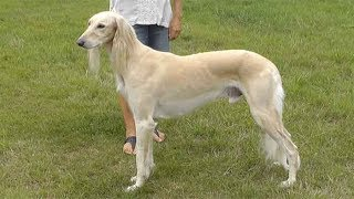 Dog Breed Video: Saluki