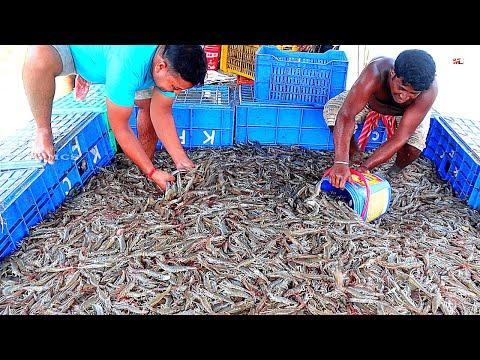 , title : 'Growing and Harvesting Vannamei Prawns/Shrimps in Ponds | Shrimp Farming Business