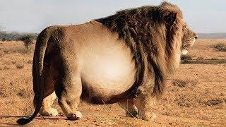 Настолько Толстых Животных Вы Еще не Видели | Топ 10