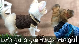 13 Rules for humans who have Chihuahua puppies | Sweetie Pie Pets by Kelly Swift