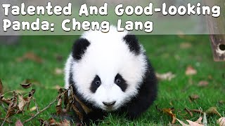 Talented And Good-looking Panda Of Class 2019: Cheng Lang | iPanda
