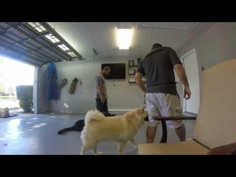 Protection Dog Training In Jacksonville Fl