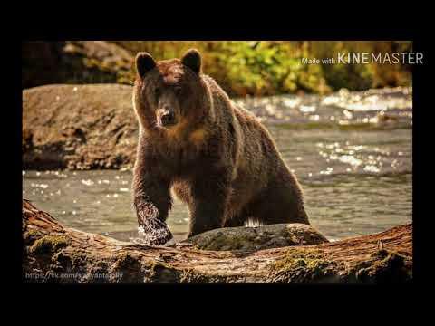 КиШ     Медведь