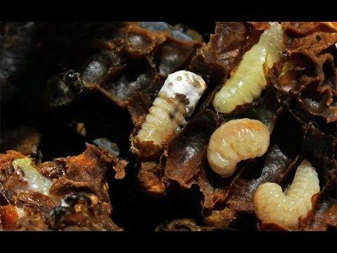 Болезни и вредители пчел: варроатоз, нозематоз, гнилец, ульевой жук, восковая моль. Методы борьбы.