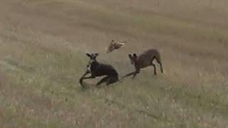 10.- Galgos vs Liebres X --- Greyhounds vs Hares X (Carrerón)