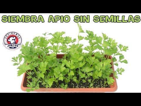 Como sembrar apio sin semillas en casa - Video # 1